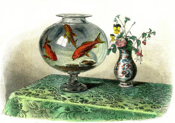 Ornamental Fish Photograph - Goldfish In A Bowl by Collection Abecasis/science Photo Library