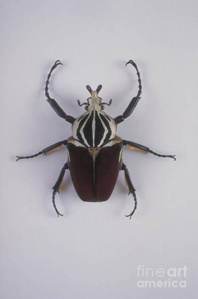 Goliath Photograph - Goliath Beetle by Barbara Strnadova