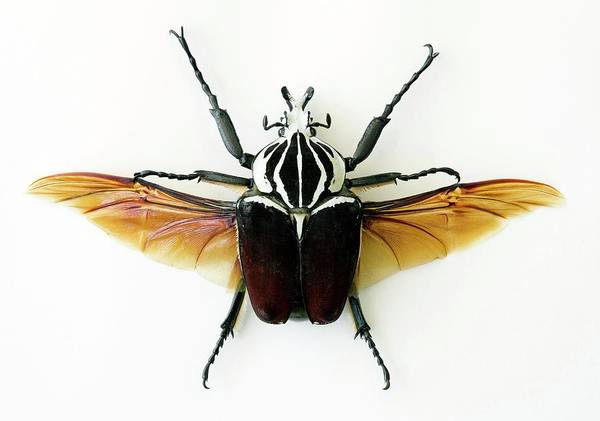 Goliath Photograph - Goliath Beetle by Pascal Goetgheluck/science Photo Library