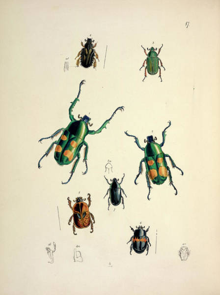 Goliath Photograph - Goliath Beetles by Natural History Museum, London/science Photo Library