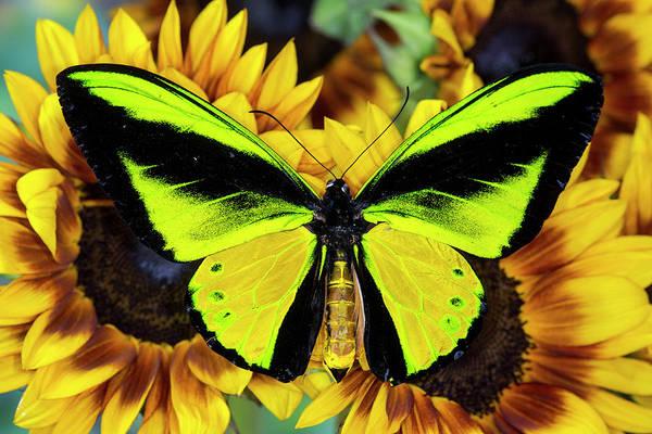 Goliath Photograph - Goliath Birdwing Butterfly by Darrell Gulin