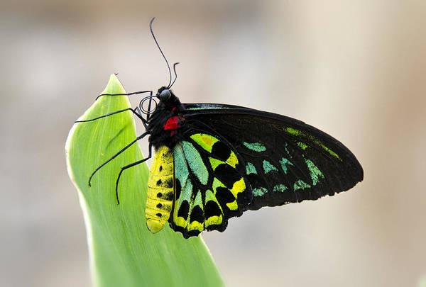 Goliath Photograph - Goliath Birdwing Butterfly  by Saija  Lehtonen