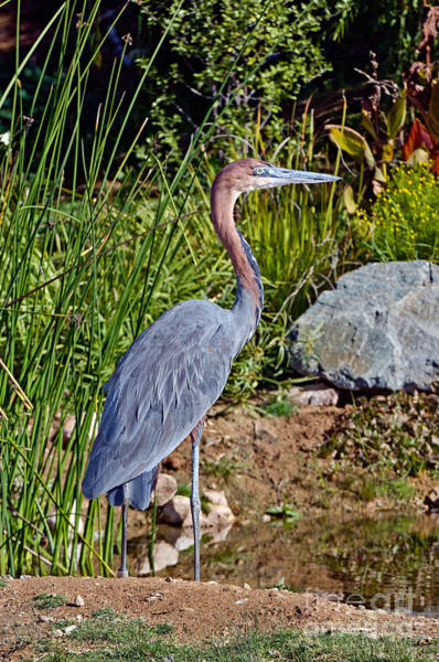 Goliath Photograph - Goliath Heron By Water by Anthony Mercieca
