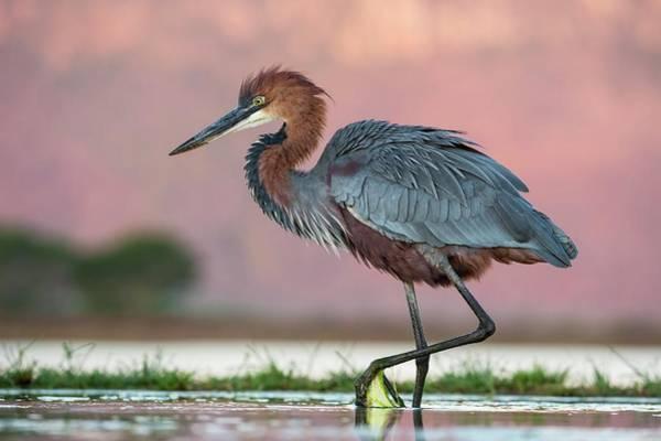 Ardea Photograph - Goliath Heron Wading by Tony Camacho