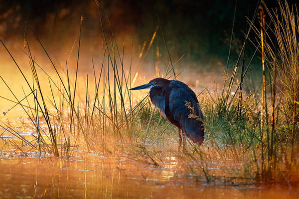 Misty Wall Art - Photograph - Goliath Heron With Sunrise Over Misty River by Johan Swanepoel