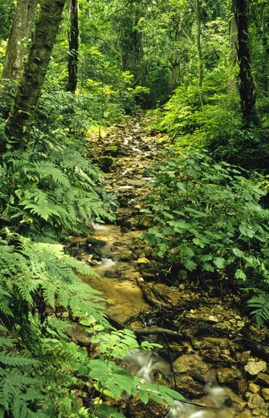 Gombe National Park Wall Art - Photograph - Gombe Stream Flowing Through Rainforest by Gerry Ellis