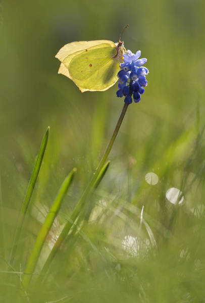 Wall Art - Photograph - Gonepteryx Rhamni On The Blue Flower by Jaroslaw Blaminsky