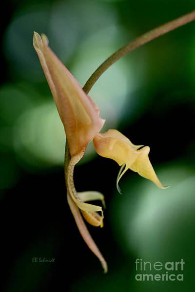 Photograph - Gongora Orchid by E B Schmidt