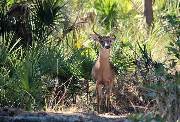 Kiawah Island Photograph - Good Afternoon Deer by Rosanne Jordan