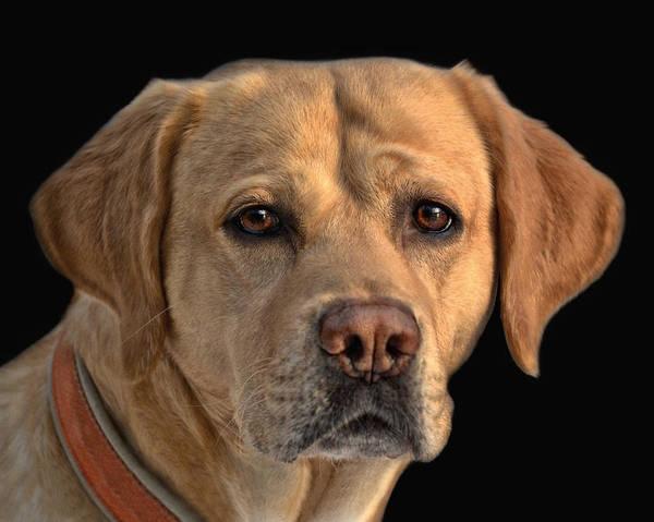 Labrador Photograph - Good Fellow by Joachim G Pinkawa
