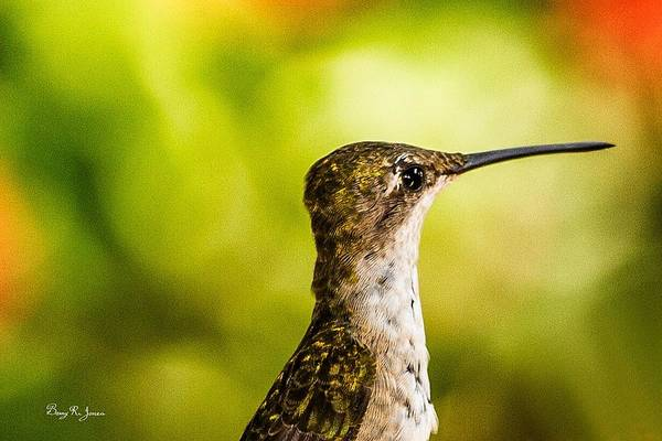 Photograph - Hummingbird - Profile - Good Morning by Barry Jones
