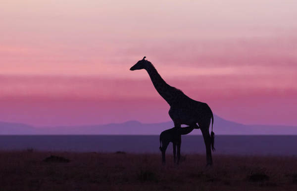 Tall Photograph - Good Morning Masai Mara 7 by Libor Plo?ek