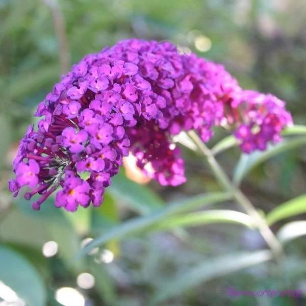 Edit Photograph - Good Morning Purple Butterfly Bush by Anna Porter