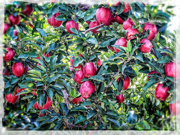Photograph - Apple Abundance by Roxy Hurtubise