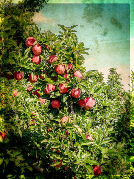 Photograph - Vintage Apple Orchard by Roxy Hurtubise