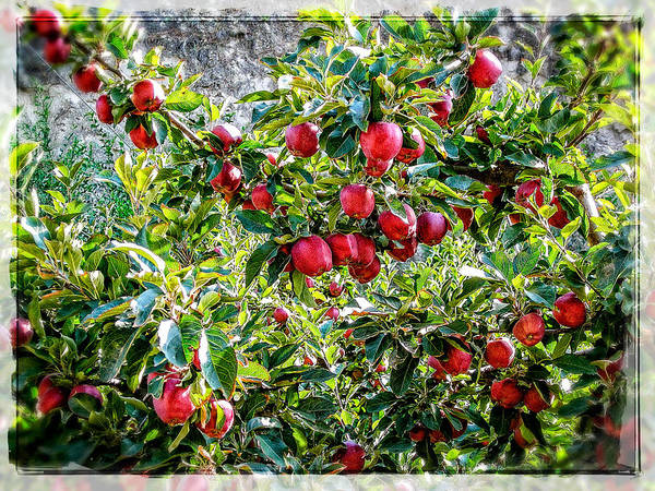 Photograph - Good Old Fashioned Apples  by Roxy Hurtubise