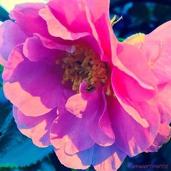Petals Wall Art - Photograph - Goodnight Pink Camellia by Anna Porter