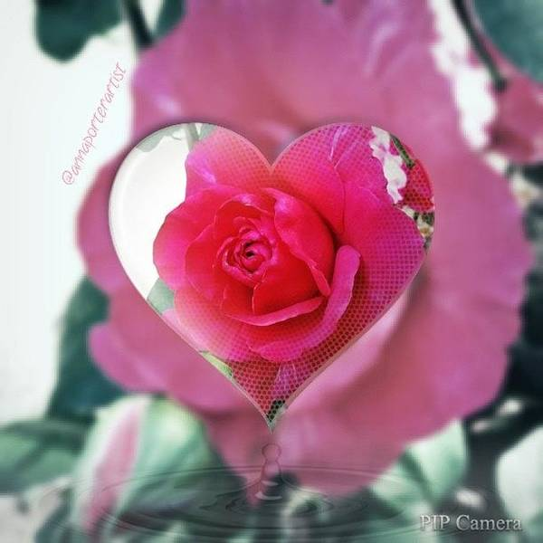 Romantic Wall Art - Photograph - Valentine's Day Rose by Anna Porter