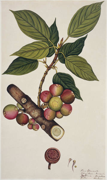 Gular Photograph - Goolar Fig (ficus Glomerata) by Natural History Museum, London/science Photo Library