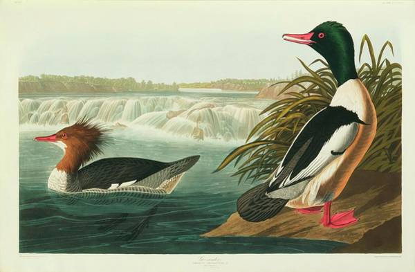 Aquatint Photograph - Goosander by Natural History Museum, London/science Photo Library