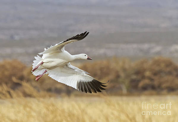 Wall Art - Photograph - Goose Above The Corn by Ruth Jolly