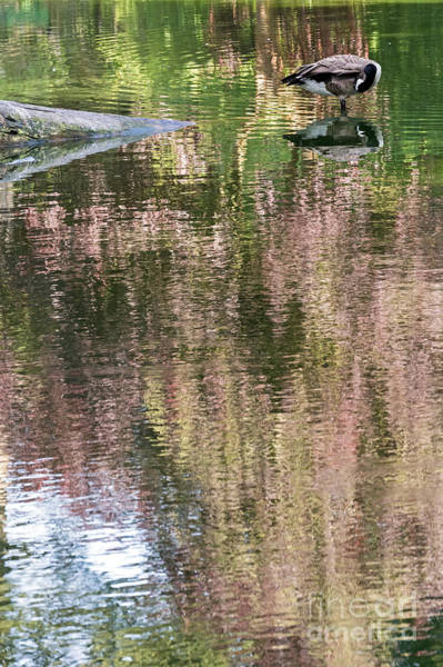 Photograph - Goose And Reflections by Kate Brown