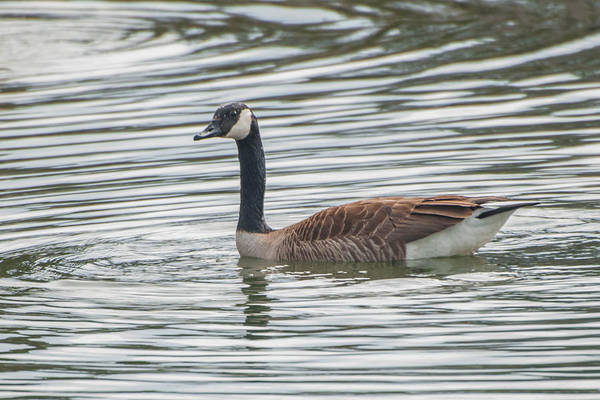 Photograph - Goose At Mirror Lake by Guy Whiteley