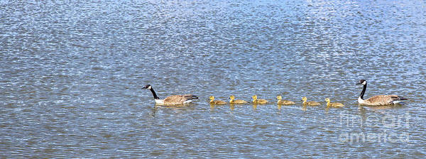Photograph - Goose Family by Jim West