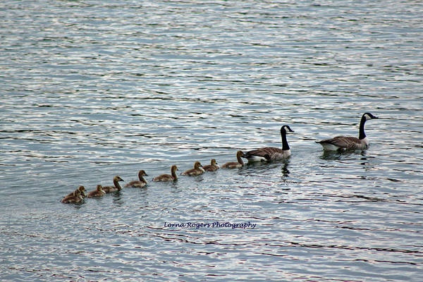 Photograph - Goose Family by Lorna R Mills DBA  Lorna Rogers Photography