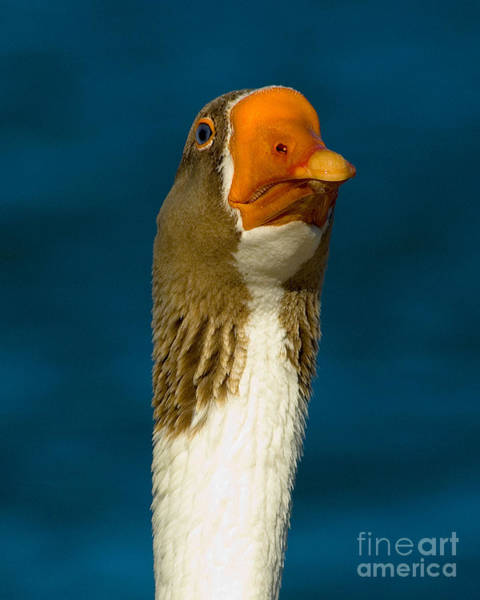 Photograph - Goose by Mae Wertz