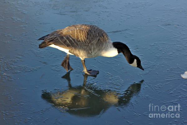 Photograph - Goose On Ice by Jeremy Hayden