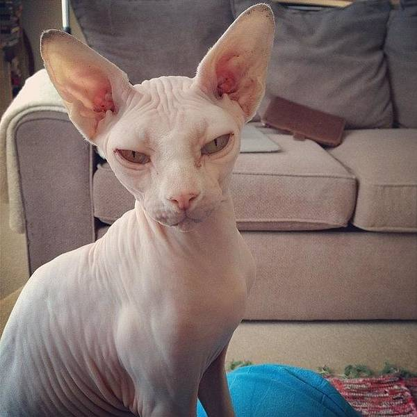 Charity Wall Art - Photograph - Gorgeous Gee #sphynx #cat by Samantha Charity Hall