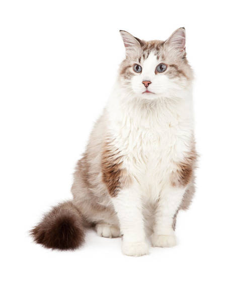 Long Hair Cat Photograph - Gorgeous Ragdoll Cat Sitting by Susan Schmitz