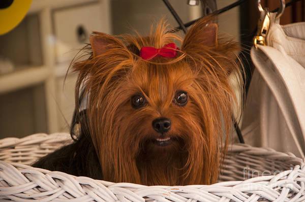 Photograph - Gorgeous Tan Coloured Yorkie In A Basket by Brenda Kean