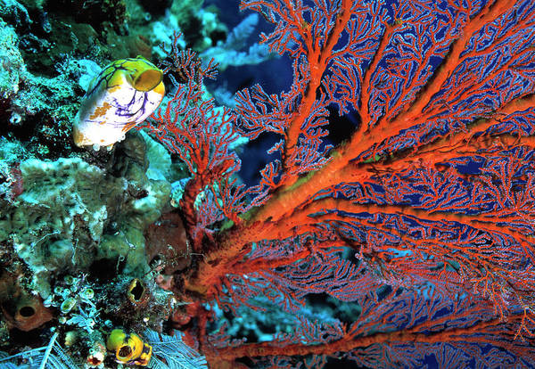 Wall Art - Photograph - Gorgonian Fan Coral by Peter Scoones/science Photo Library