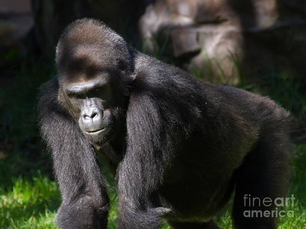 Photograph - Gorilla 7d8985 by Wingsdomain Art and Photography