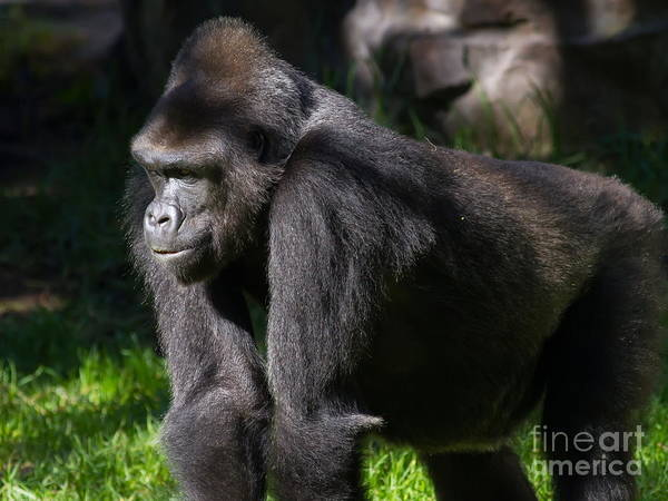 Photograph - Gorilla 7d8986 by Wingsdomain Art and Photography
