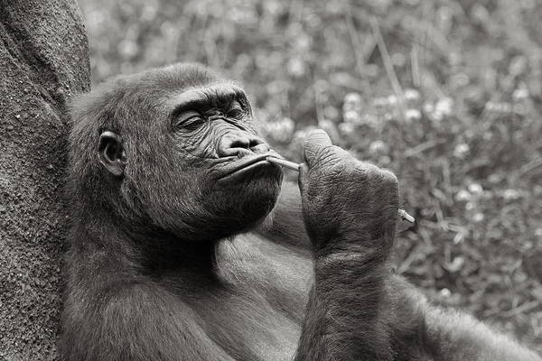 Photograph - Gorilla Deep In Thought - Black And White by Angela Rath