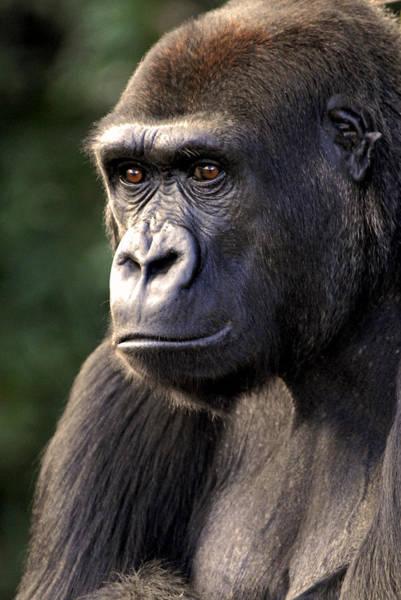 Don Johnson Photograph - Gorilla by Don Johnson