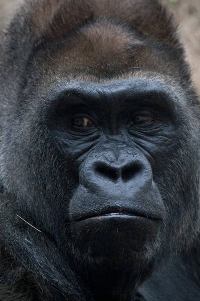 Gorilla Portrait Art Print