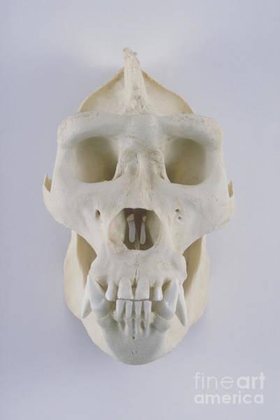 Photograph - Gorilla Skull by Barbara Strnadova
