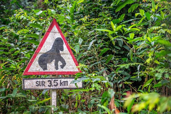 Equatorial Africa Wall Art - Photograph - Gorilla Warning, Odzala National Park by James Steinberg