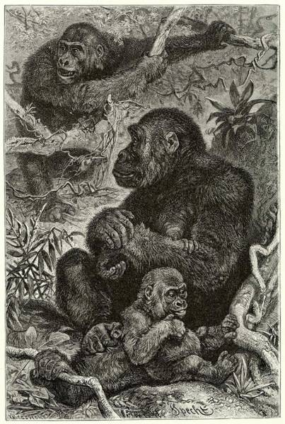 Wall Art - Drawing - Gorillas At Home by Mary Evans Picture Library