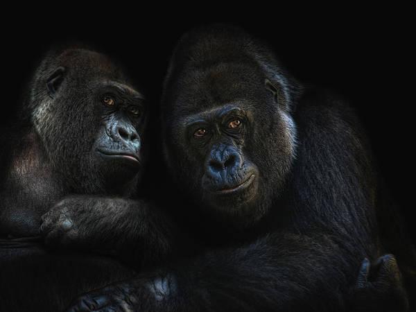 Monkey Wall Art - Photograph - Gorillas In Love by Joachim G Pinkawa