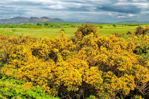 Wall Art - Photograph - Gorse Flowers, Sligo, Ireland by James Steinberg