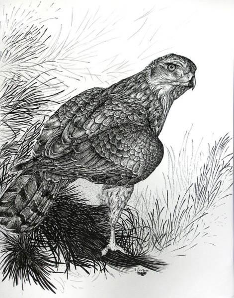 Avian Drawing - Goshawk Gaze by Cara Bevan