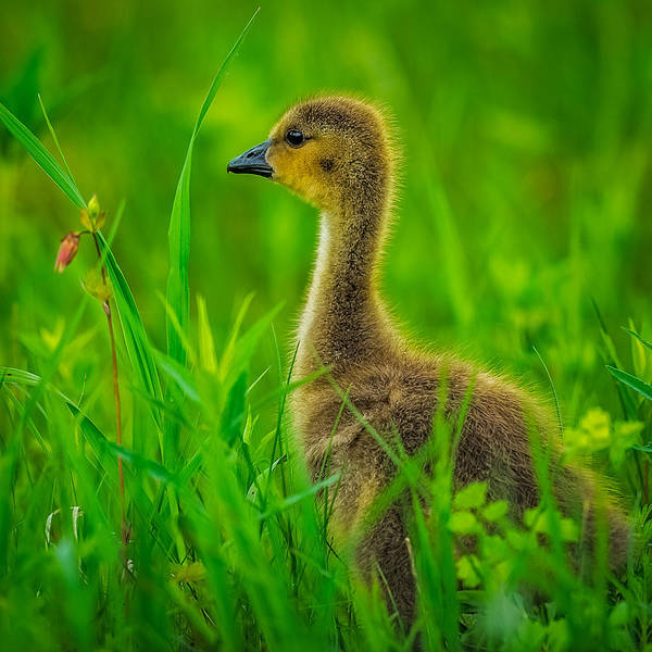 One Of A Kind Photograph - Gosling by Paul Freidlund