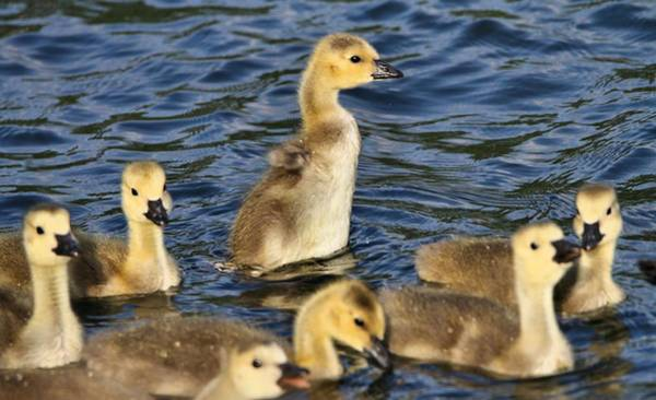 Wall Art - Photograph - Gosling Showoff by Dan Sproul