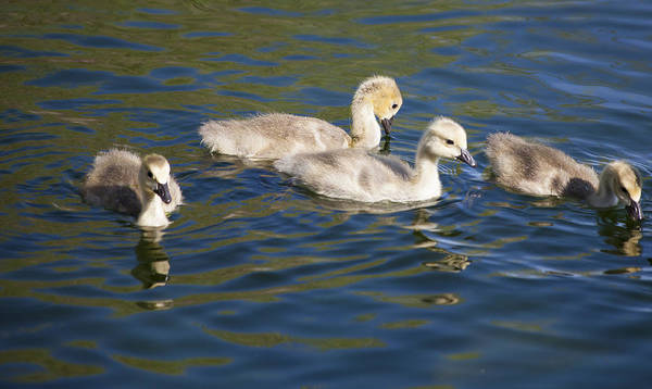 Photograph - Goslings by Fran Riley
