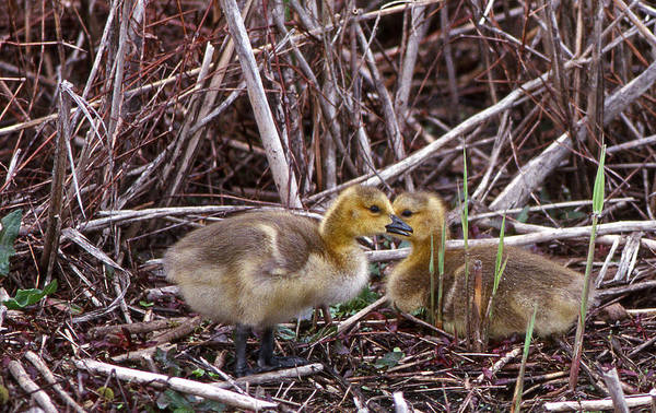 Gosling Photograph - Gosslings A Pair by Skip Willits